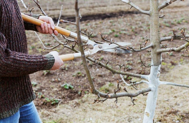 Manbondesnitt med att beskära klipper fruktträd i en trädgård royaltyfria foton