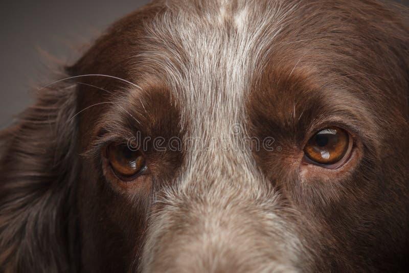 Mancha marrón cocker spaniel ruso, fondo borroso foto de archivo