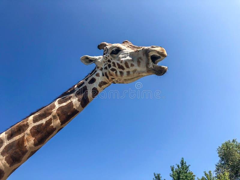 Mancha marrón la jirafa en el parque zoológico imágenes de archivo libres de regalías