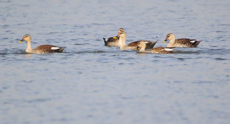 Manche a natação da família do pato da conta na água da lagoa foto de stock royalty free