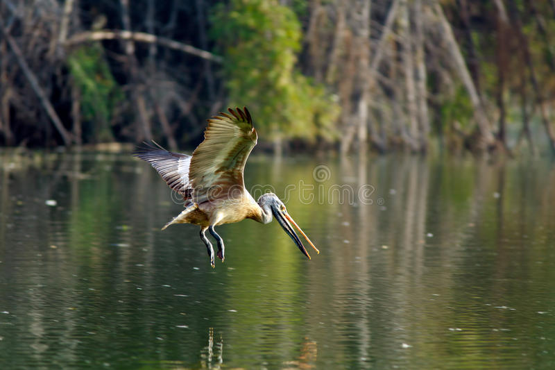 Manche o pelicano faturado fotografia de stock