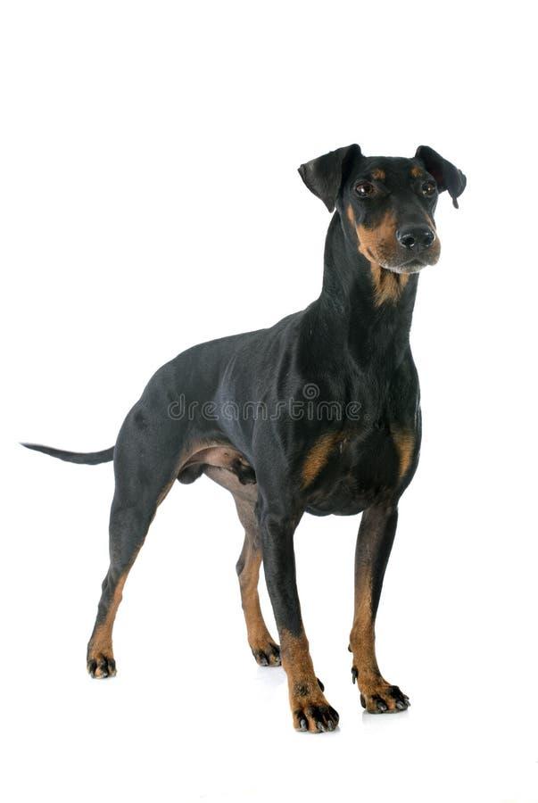 Manchester terrier royaltyfria bilder