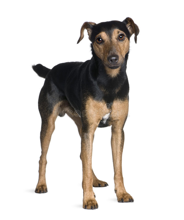 Manchester Terrier in front of white background royalty free stock photo