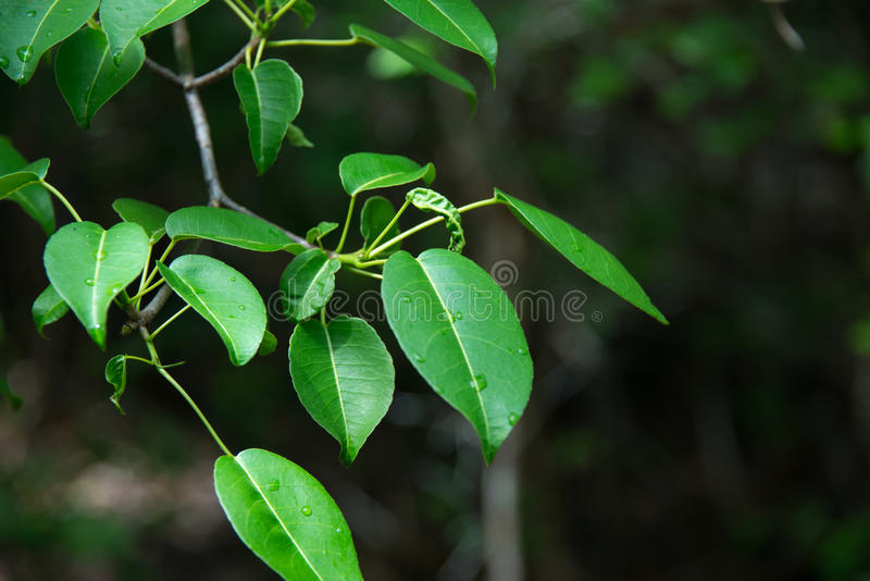 Manchineel stock foto