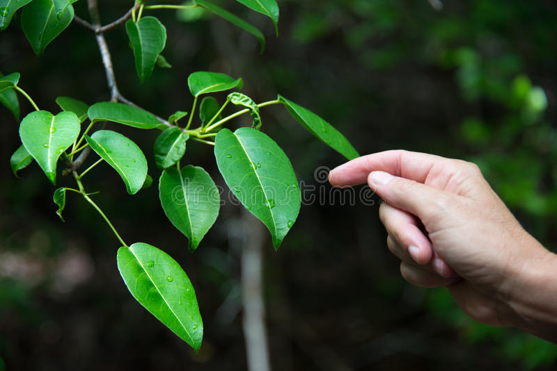 Manchineel. The deadliest tree in the world is endangered in Florida, but can be found in several nature preserves in the Keys stock photos
