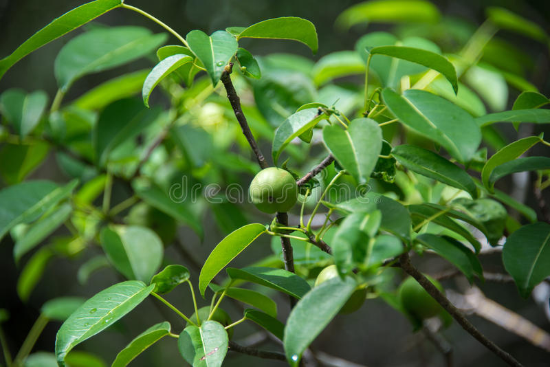 Manchineel. The deadliest tree in the world is endangered in Florida, but can be found in several nature preserves in the Keys royalty free stock image