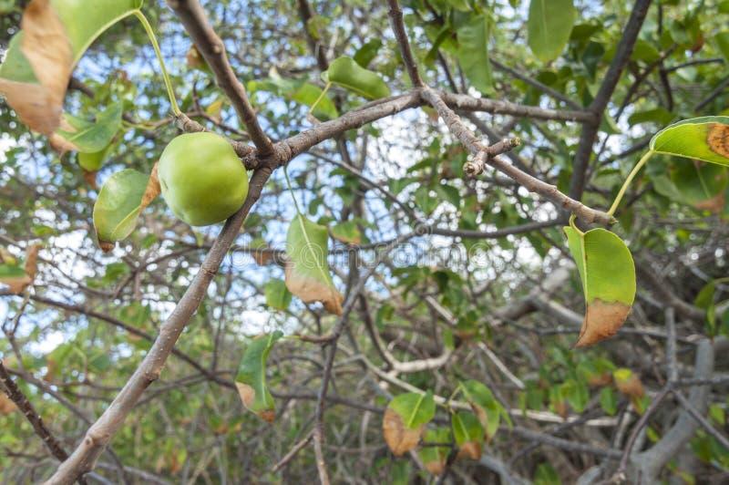Manchineelfruit op boom stock afbeeldingen