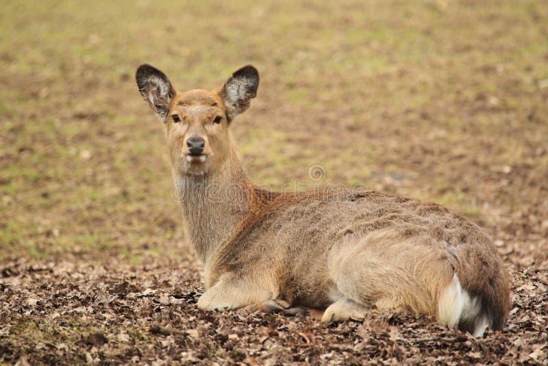 Manchurian sika deer stock photo