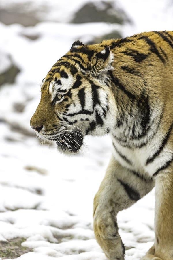 Mandżurski tygrys zdjęcie stock
