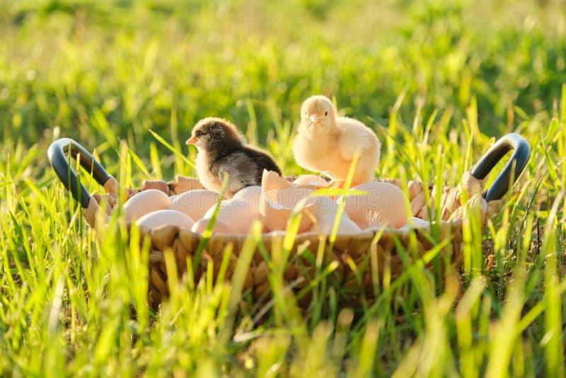 Mand met natuurlijke verse organische eieren met twee kleine pasgeboren babykippen, de achtergrond van de grasaard stock afbeelding