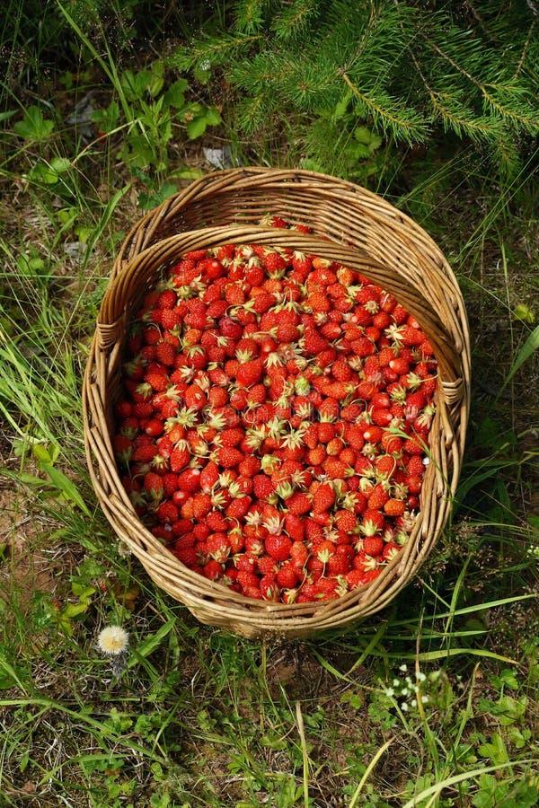 Mand met wilde rode rijpe aardbeien in de opheldering royalty-vrije stock afbeeldingen