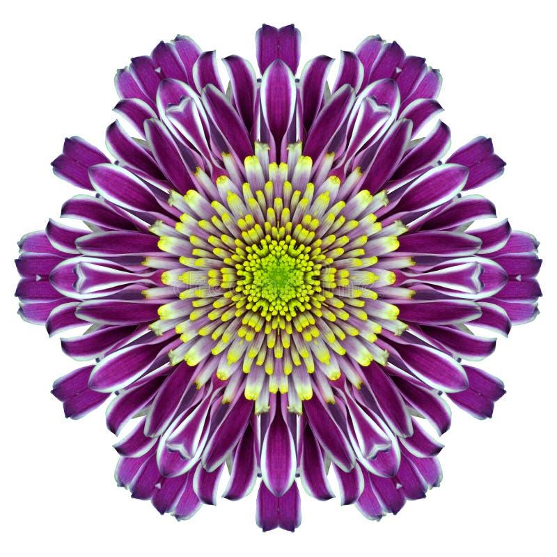 Mandala chryzantemy kwiatu kalejdoskop Odizolowywający na bielu fotografia royalty free