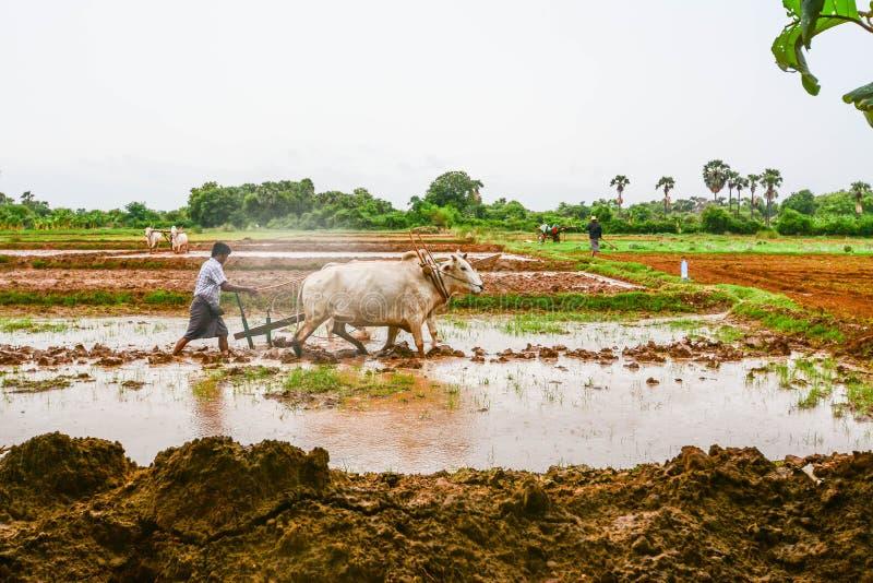 MANDALAY, MYANMAR - 31 2015 LIPIEC: Rolnicy w Mandalay, Myanmar, zasadzają ryż w zalewającym polu obrazy royalty free
