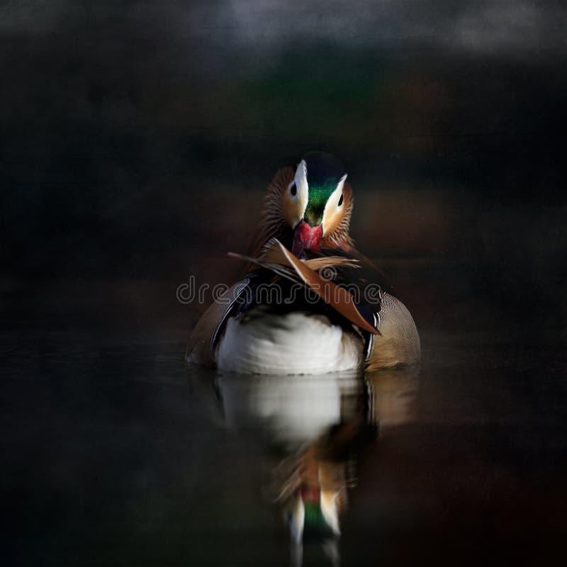 Mandarín Duck Prenning foto de archivo libre de regalías