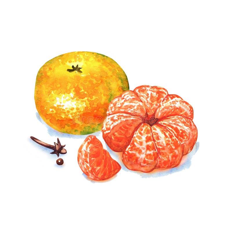 Mandarijn of mandarin fruit dat op witte achtergrond wordt geïsoleerd stock illustratie