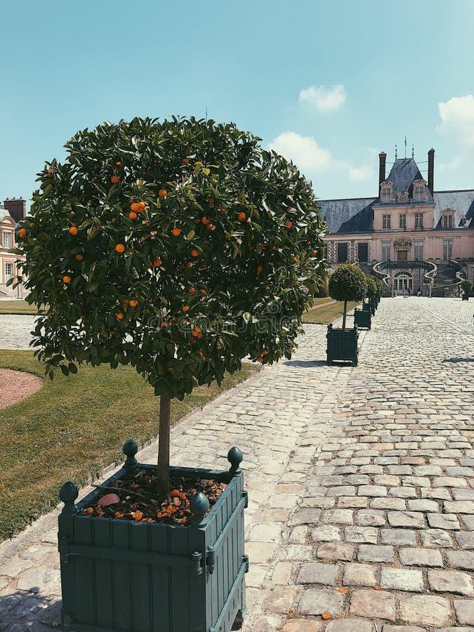 Mandarijnboom in de lente, Frankrijk stock afbeelding