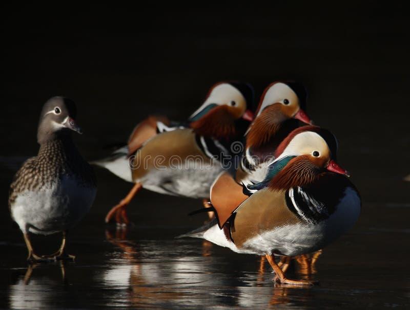 Mandarinänder på is royaltyfria bilder
