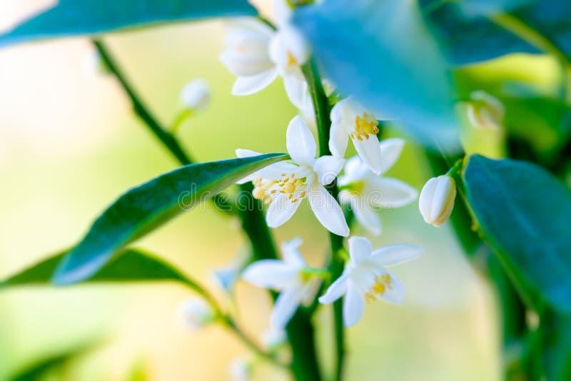Mandarin blooming tree royalty free stock image