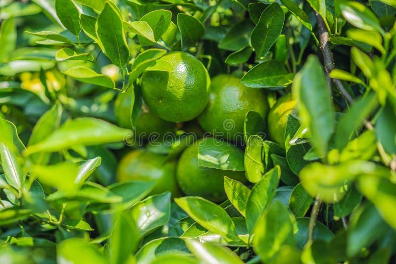 Mandarin boom met rijpe vruchten Mandarijntjeboom Mandarijn Tak met vers rijp mandarijnen en bladerenbeeld royalty-vrije stock foto's