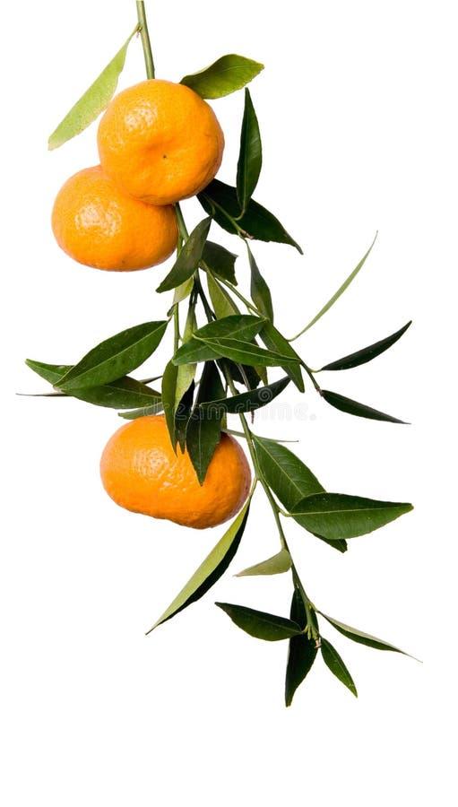 Mandarin branch stock image