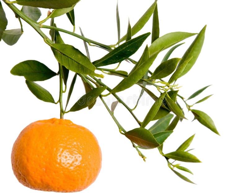 Mandarin branch royalty free stock photo