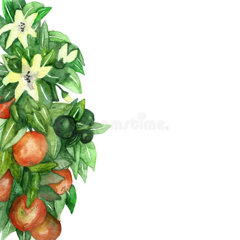 Mandarin branches with green leaves, flowers on an isolated white background, watercolor illustration, citrus collection, orange royalty free illustration