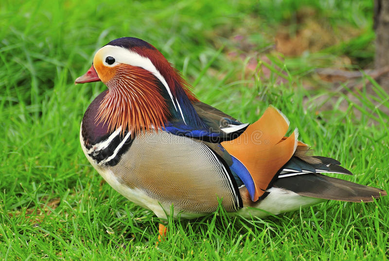 Mandarin duck (Aix galericulata). The truly impressive plumage of a male Mandarin duck, seen in a duckpond, at the local Southport hospital stock photos