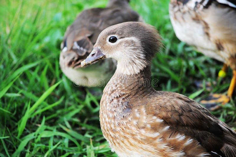 Download Mandarin duck stock image. Image of grass, fatastic, wildlife - 24631173