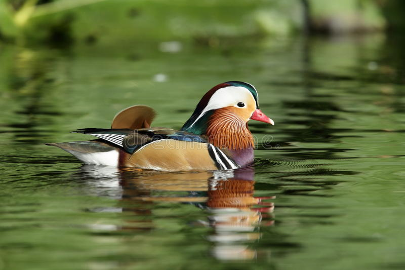 Mandarin duck. stock photos