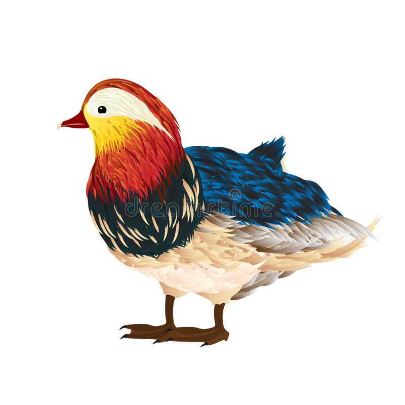 Mandarin duck. Little mandarin duck drawing over white background stock illustration