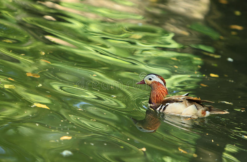 Download Mandarin Duck (Aix Galericulata) Stock Photo - Image of beauty, outdoors: 11641698