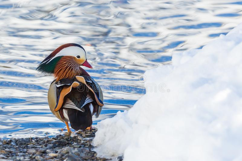 Mandarin duck aix galericulata standing at beach, snow, water royalty free stock images