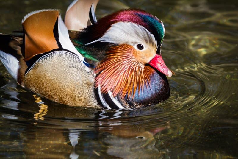 Mandarin duck royalty free stock photo