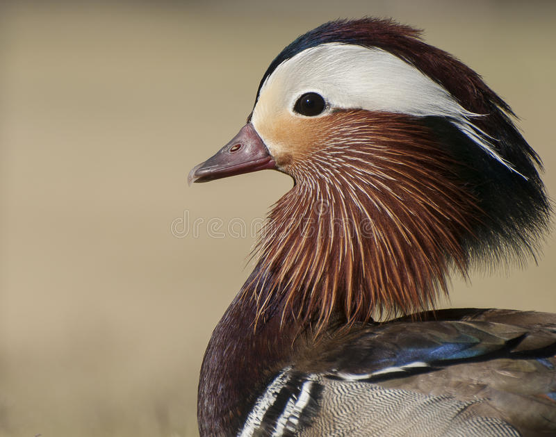 Mandarin duck. Close-up profile view of this distinctive, multi-colored duck. Ruffled feathers surround the neck, a white swoosh from the beak to the back of the royalty free stock image