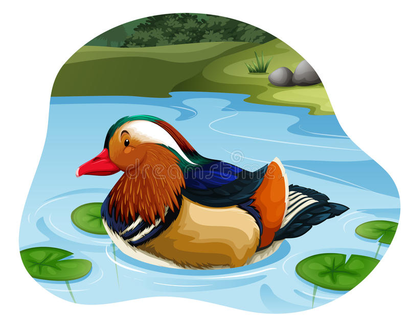Mandarin Duck. Colorful mandarin duck swimming in the river vector illustration