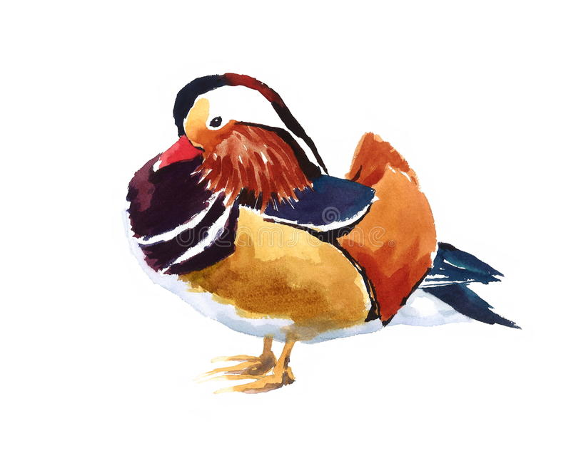 Mandarin Duck Farm Bird Watercolor Illustration Hand Painted. Hand painted Watercolor illustration of Mandarin Duck Bird isolated on white background royalty free illustration