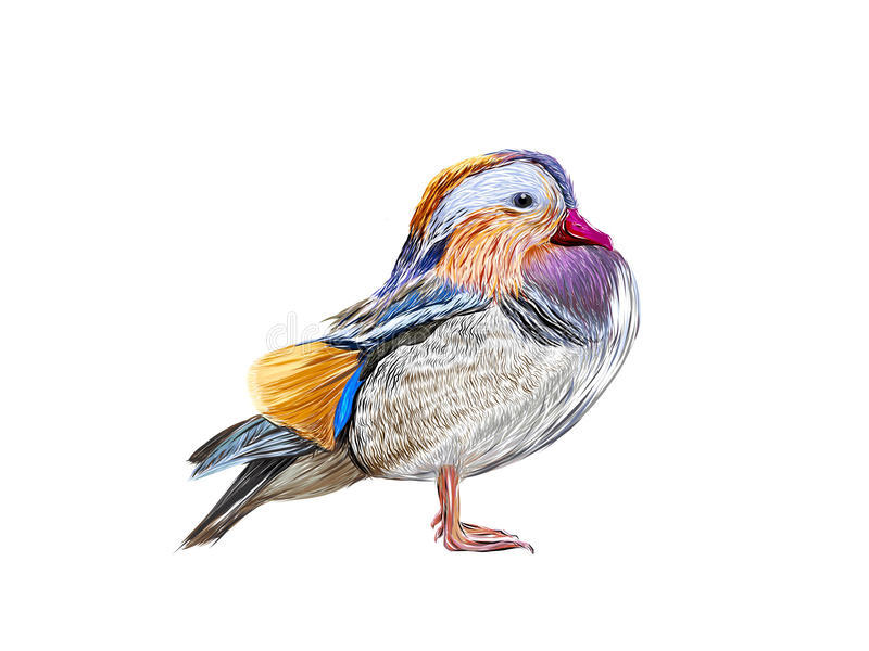 Mandarin Duck royalty free illustration