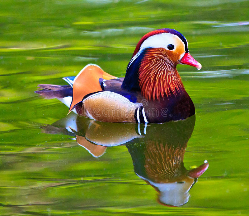 Download Mandarin duck (male) stock image. Image of feather, animal - 20025007