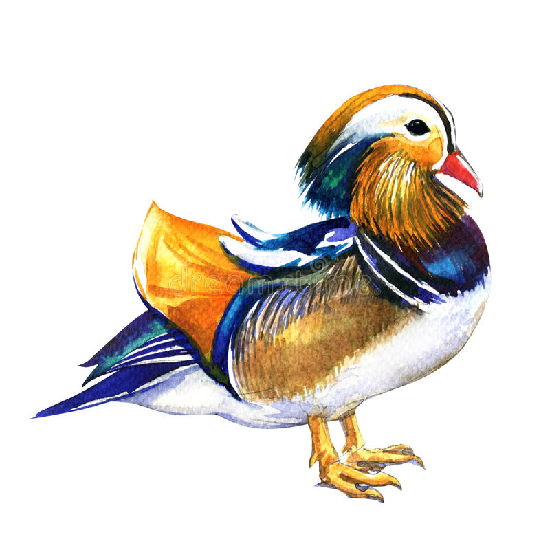 Mandarin duck male, Aix galericulata, isolated, watercolor illustration on white. Background stock illustration