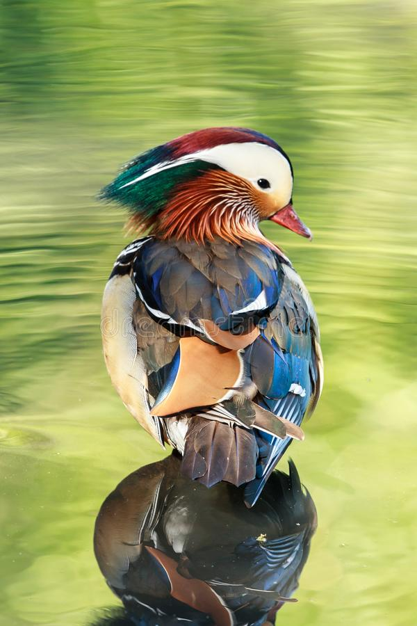 A Mandarin duck male in water reflecting the vegetation stock photos