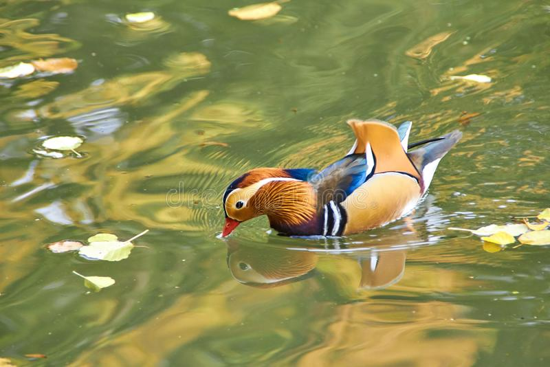Mandarin duck. Mandarin duck swimming in the lake. Bird with bright multi-colored feathers. Duck with a beautiful color floats on royalty free stock images