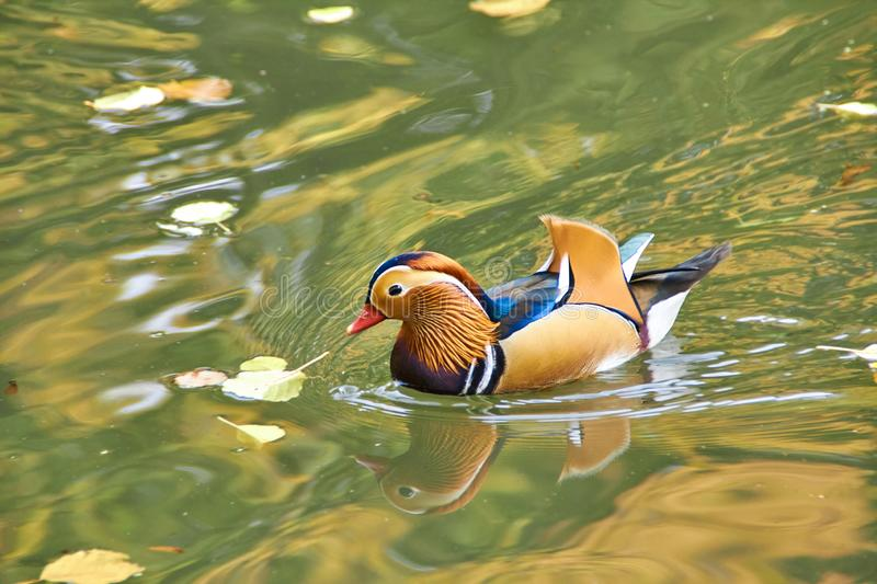 Mandarin duck. Mandarin duck swimming in the lake. Bird with bright multi-colored feathers. Duck with a beautiful color floats on stock photography