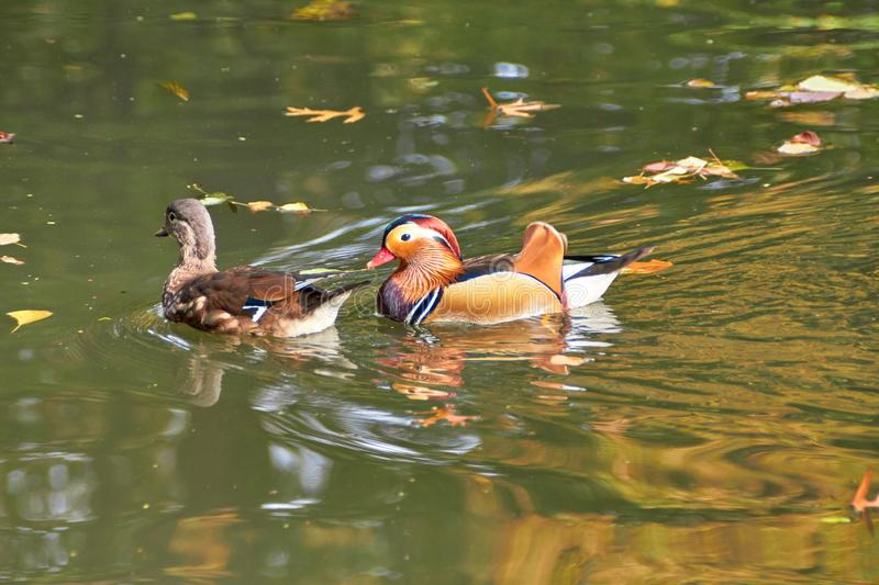 Mandarin duck. Mandarin duck swimming in the lake. Bird with bright multi-colored feathers. Duck with a beautiful color floats on stock images