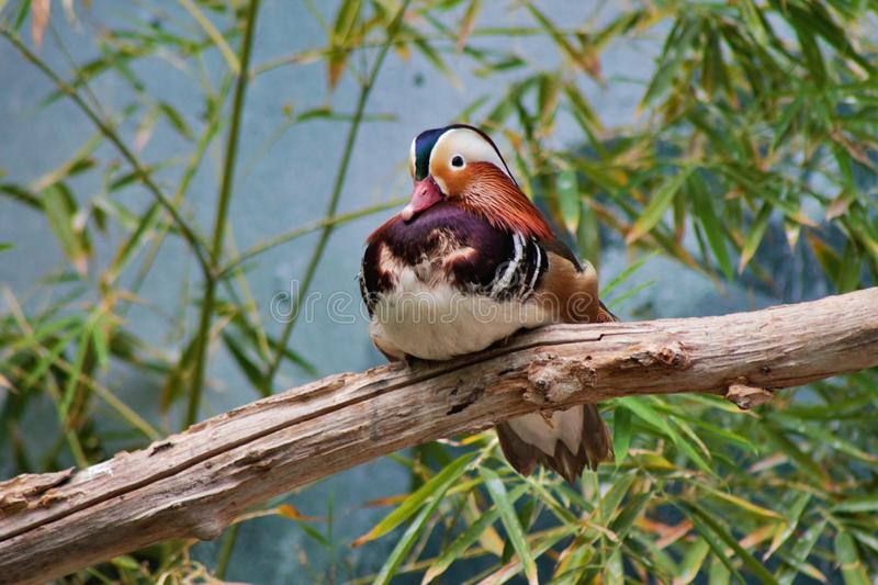 Mandarin Duck. A Mandarin Duck perches on a branch royalty free stock images