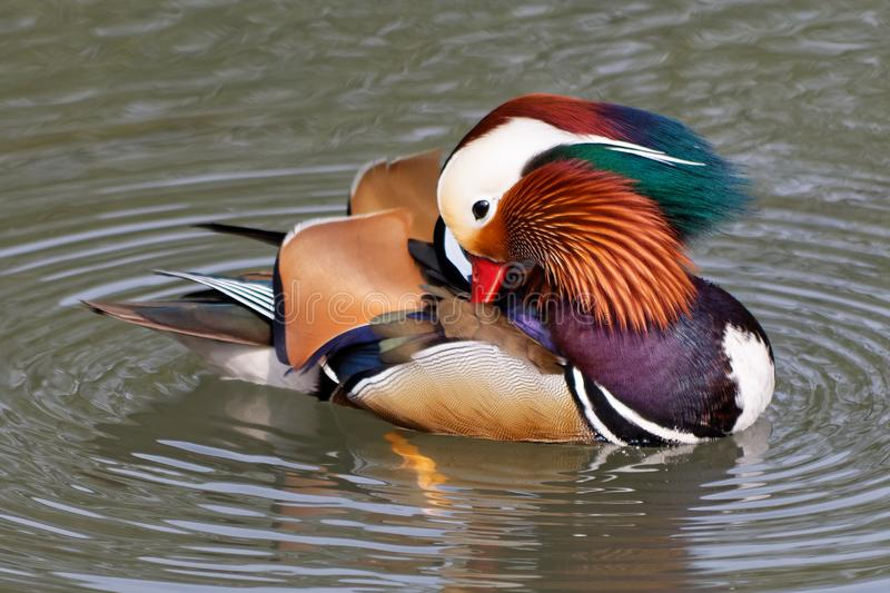 Mandarin duck on a pond 3. Mandarin duck on a pond in the traditional Chinese garden in Suzhou stock photos