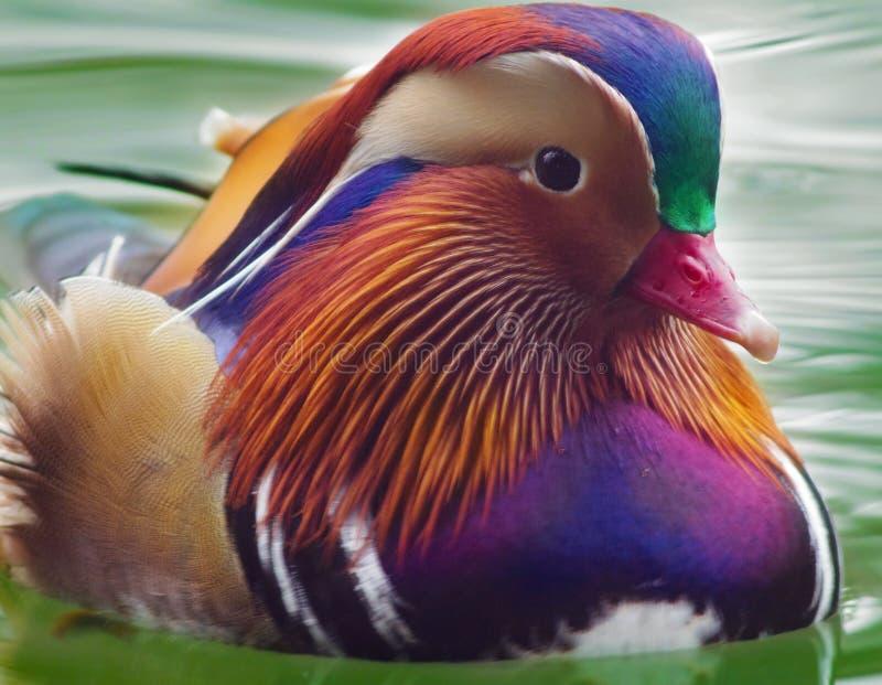 Mandarin Duck Portrait royalty-vrije stock foto