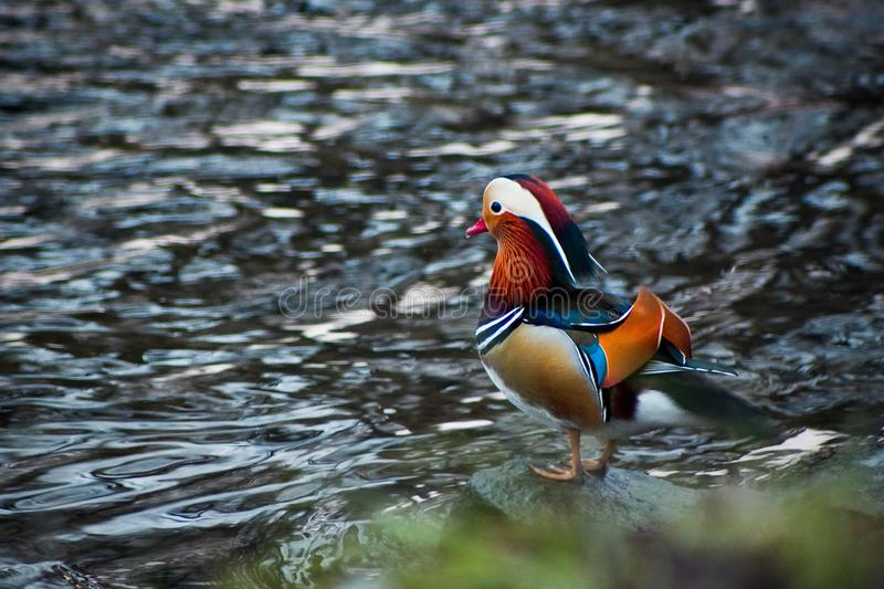 Mandarin duck on the river royalty free stock photography