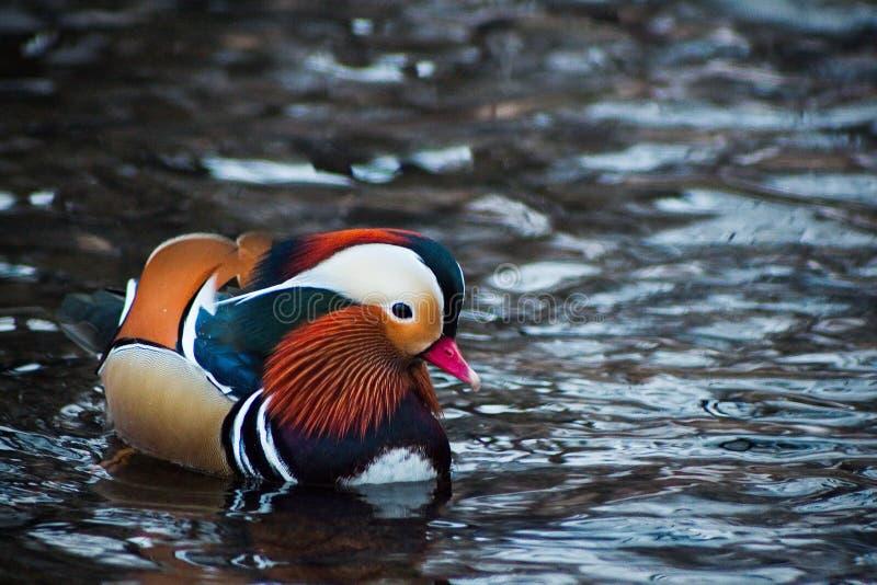 Mandarin duck on the river royalty free stock photo