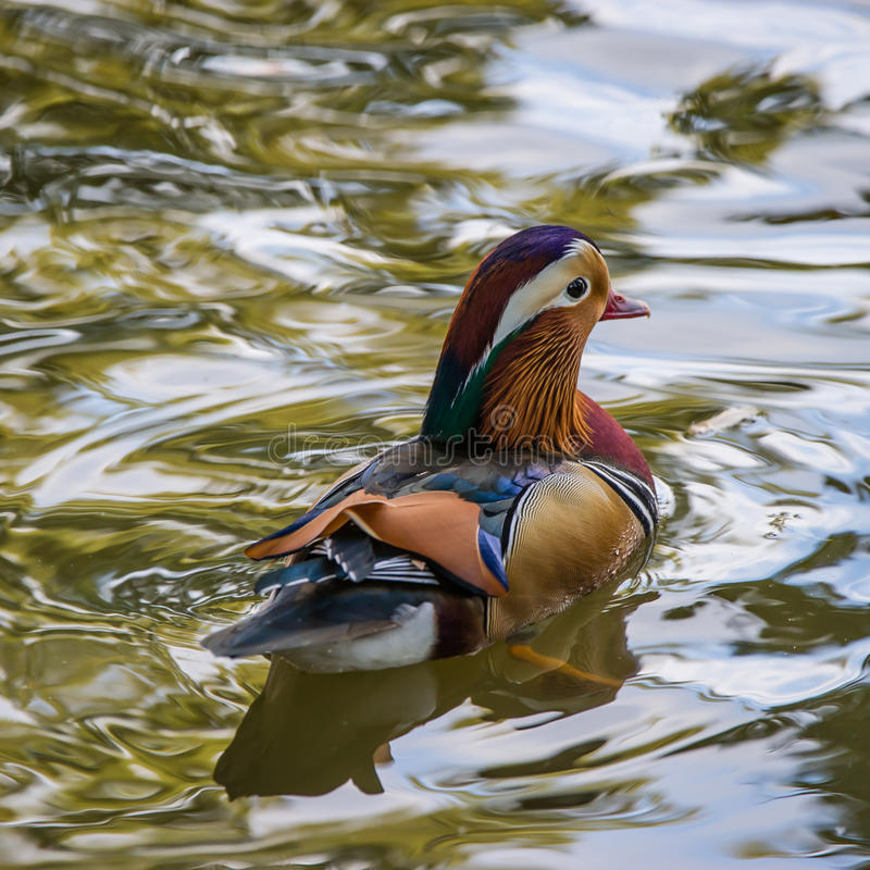 Mandarin Duck's back. The beautiful male Mandarin Duck (Aix galericulata) showing his typical colorful plumage from the back, Uppland, Sweden stock photo
