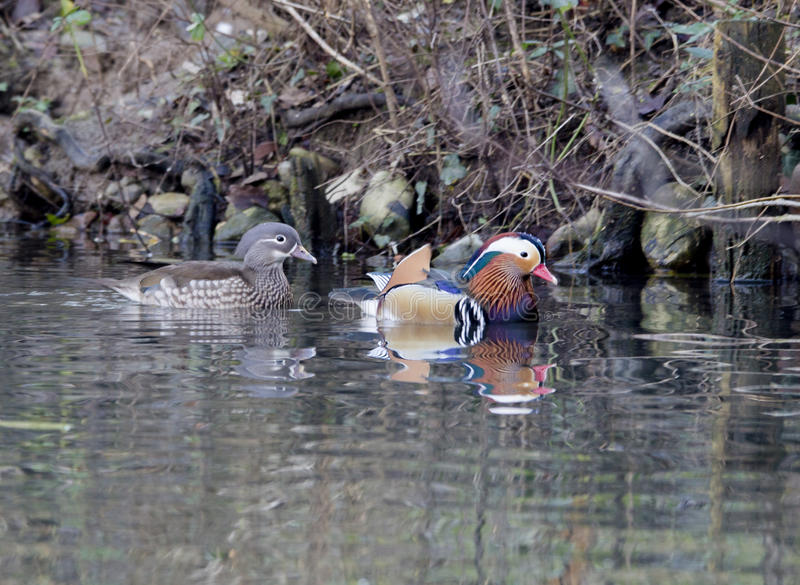 Mandarin duck royalty free stock photography